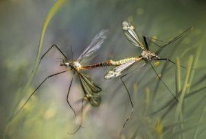 עקיצת יתושים מסוכנת